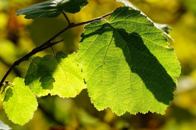 ハシバミ葉